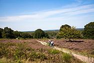 flowering common heather (Calluna vulgaris) in the Wahner Heath at Telegraphen hill, walker, Troisdorf, North Rhine-Westphalia, Germany.<br /> <br /> bluehende Besenheide (Calluna vulgaris) in der Wahner Heide am Telegraphenberg, Spaziergaenger, Troisdorf, Nordrhein-Westfalen, Deutschland.