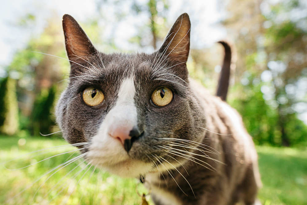 Close up portrait of gray and white cat in a backyard