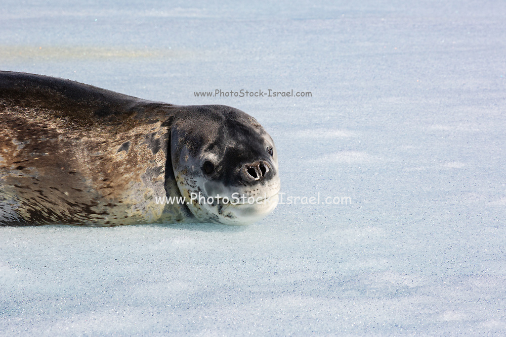Close up of a Leopard seal (Hydrurga leptonyx) on ice floe, Antarctica.