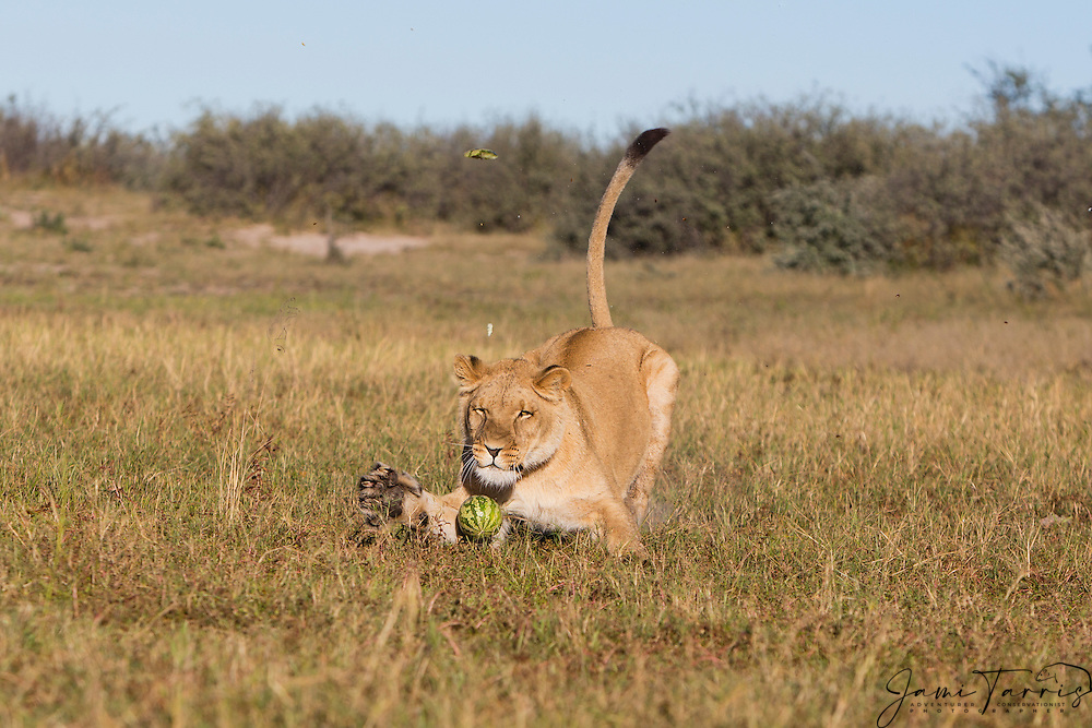 Lioness running in the morning and playing with a wild melon (Panthera leo), Kalahari Desert, Botswana Africa