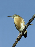 Squacco Heron Ardeola ralloides (L 45-47cm) is a buffish heron with pure white wings seen in flight.