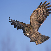 Great Gray Owl adult in flight hunting for prey. Canada