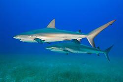 Caribbean Reef Sharks, Carcharhinus perezi, over seagrass bed, West End, Grand Bahamas, Atlantic Ocean