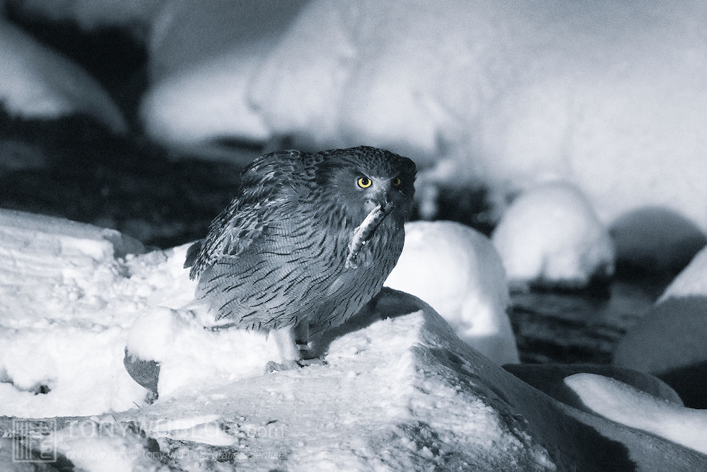 Blakiston's Fish Owl (Bubo blackistoni) at night, with a small masu salmon (Oncorhynchus masou masou), also known as yamame, in its mouth. Photographed in Rausu, Hokkaido, Japan. This owl is accustomed to people and is fed daily.