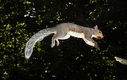 Gray Squirrel (Sciurus carolinensis). Jumping from a branch.  This high-speed image was captured with a flash at 1/20,000th of a second.  This is a male, and he has been feeding on black walnuts.  The nuts have stained the fur around the mouth..On close inspection there is a biting fly on the back, just above the hips.