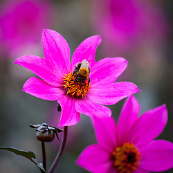 Bee on Dahlia 'Magenta star'