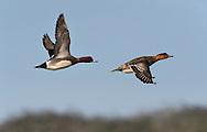 Wigeon - Mareca penelope - left - male/right - female