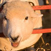 Sheep in a pen waiting for juding at a State Fair. Windsor, Maine