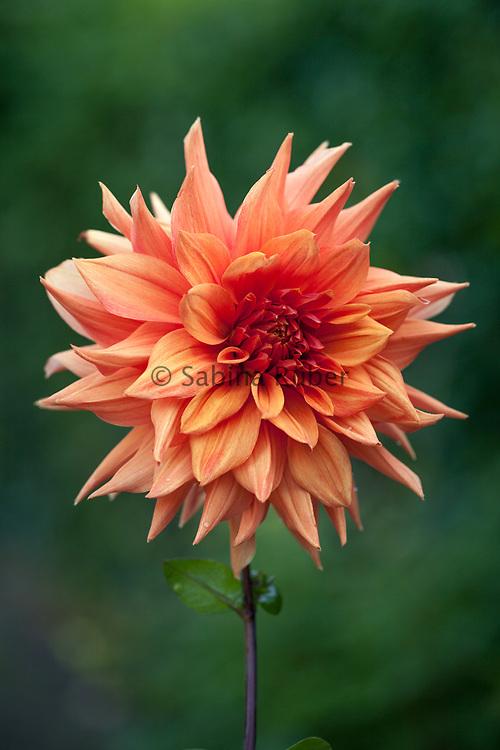 Dahlia 'Color Spectacle' - semi-cactus dahlia