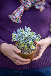 Holding a pot of winter iris - Iris 'Katharine Hodgkin' Reticulata AGM
