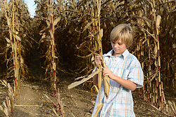 Boy playing with corn plant in cornfield, Bavaria, Germany
