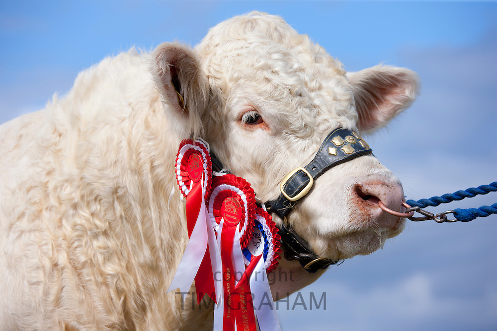 British Charolais heifer cow age 3, National Champion, with winning rosettes at Moreton Show in Moreton-in-the-Marsh, The Cotswolds, UK