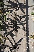 leaves and shadows of Kumazasa plants Japan