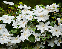 Clematis flowers. Image taken with a Nikon 1 V3 camera and 70-300 mm VR lens.