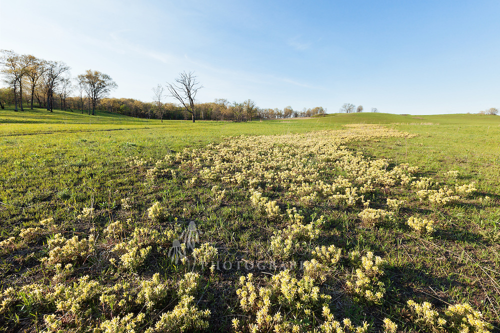 The Wood Betony creates a lovely yellow carpet across Nachusa Grasslands prairie in the springtime. This lovely plant is actually parasitic on tall grasses, allowing the shorter grasses and flowers to populate areas of the prairie. The flowers are also a favorite bumblebee stop.