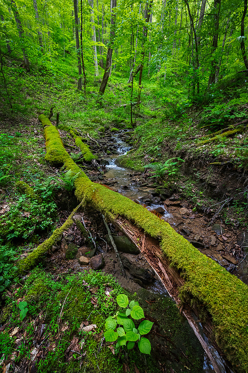 A newly spread carpet of greens are displayed on the forest floor in this water run off found in Chief Logan State Park of West Virginia.