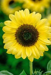 Helianthus annuus 'Valentine' - sunflower