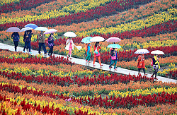 October 9, 2016 - Huaying, Huaying, China - Huaying,CHINA-October 9 2016:?(EDITORIAL?USE?ONLY.?CHINA?OUT) Tourists enjoy beautiful flowers at an ecological park in Huaying, southwest China¡¯s Sichuan Province, October 9th, 2016. Many people choose to go out for traveling after the National Day holiday because scenic spots will become more comfortable and less crowded after the Golden Week. (Credit Image: © SIPA Asia via ZUMA Wire)
