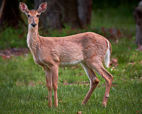 Young doe wondering why I am looking at her. Backyard spring nature in New Jersey. Image taken with a Fuji X-T2 camera and 100-400 mm OIS lens (ISO 200, 400 mm, f/6.4, 1/50 sec).
