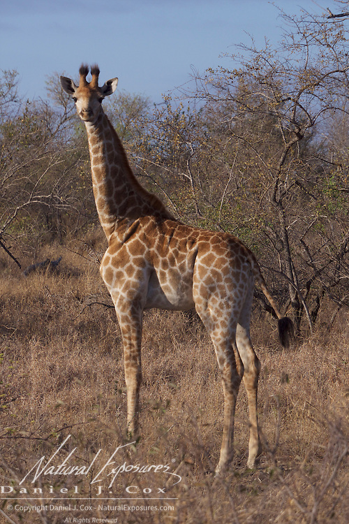 Southern Giraffe, Timbavati Private Nature Reserve. South Africa.