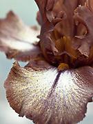 Iris 'Huckleberry Fudge' - tall bearded iris