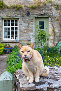 Cat, Felis catus, wearing collar with bell, on an old drystone wall at a cottage in the village of Eastleach Martin in The Cotswolds, UK