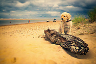 Scenic landscape of the wide beach sands at Holkham in north Norfolk, England with dog walkers and a small dog sitting on a washed up log.