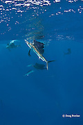 Atlantic sailfish, Istiophorus albicans, feed on sardines that they have cut out of bait ball (behind central fish), Yucatan Peninsula, Mexico ( Caribbean Sea )