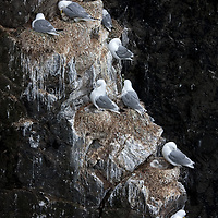 The Kittiwake is also called black-legged Kittiwake in North America, to differentiate it from the european Kittiwake, the red-legged Kittiwake.