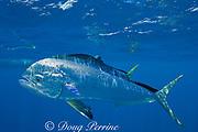 dorado, mahi mahi, or dolphin fish, Coryphaena hippurus, with small parasites clinging to skin, off Isla Mujeres, near Cancun, Yucatan Peninsula, Mexico ( Caribbean Sea )