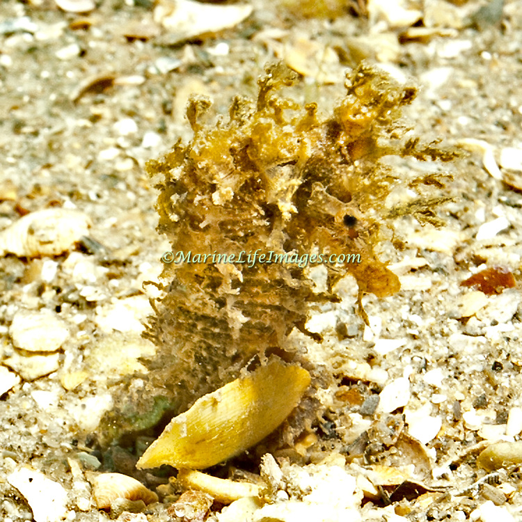 Lined Seahorse inhabit areas of sand and rubble attaching to gorgonians, seagrass and other holdfasts in Tropical West Atlantic; picture taken Blue Heron Bridge, Palm Beach, FL.