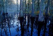 Cypress and Tupelo swamp on foggy morning - South Carolina.