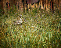 Female Grouse Hiding in the Grass. Image taken with a Nikon D3x camera and 24 mm f/1.4 lens (ISO 800, 24 mm, f/16, 1/50 sec). Raw image processed with Capture One Pro, Focus Magic, and Photoshop CC.