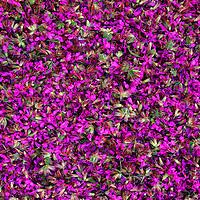 Irish Wildflower Macro Blossoms of Purple Loosestrife Iveragh Peninsula, Ring of Kerry Ireland / fa020
