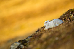 Mountain hare Lepus timidus, adult in winter coat resting on mountain slope, Findhorn Valley, Scotland, February
