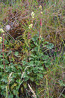 Roundleaf alumroot is a historically important member of the saxifrage family found in drier forests of western North America. Many Native American peoples used the extremely astringent pounded roots (hence the name based from the word alum) as poultice to stop bleeding wounds or as a tea to treat sore throats. It is still often used as an ingredient to help colored dyes stick to fabrics, baskets, etc. These were found in the foothills of the eastern Cascade Mountains in Kittitas County.