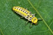 Orange Ladybird - Halyzia 16-guttata<br /> larva