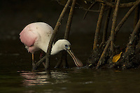 Juvenile roseate spoonbill (Ajaia ajaja) forages among the roots of red mangrove.
