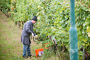 Picking grapes in a vineyard, Wachau Valley, Austria