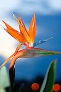 flowering bird of paradise blue sky background
