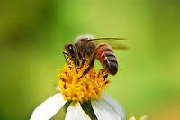 Honey bee gathering pollen from wildflowers - in this case, common beggar-ticks.