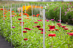 Rows of zinnias at Vickers Farm Trial Field