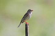 Corn Bunting (Emberiza calandra) on a post, hefer valley, Israel
