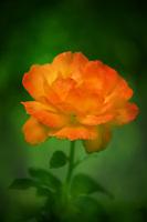 A beautiful rose in full bloom.
