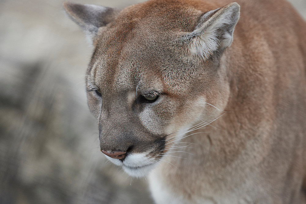 Saint Louis Zoo in St. Louis, Missouri, home to over 13,000 animals representing 555 species and recognized for its animal care and management, wildlife conservation, research and education.