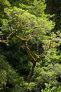 moss-covered branches on Tanoak along the Jedediah Smith River near the northern California coast