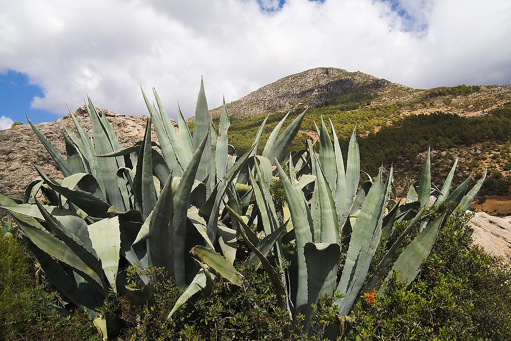Maguey (Agave americana), originally from Mexico, grows in Talassemtane National Park, in the Rif Mountains, just outside the city of Chefchaouen, Morocco.