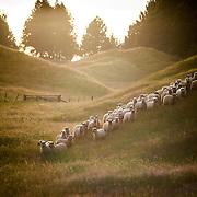 Ziwi Peak NZ