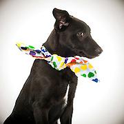 Black dog puppy awaits adoption at the Sacramento city animal shelter.