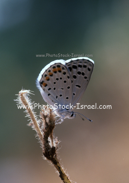 Male Common Blue (Polyommatus icarus) Butterfly uppersides are an iridescent lilac blue with a thin black border. Photographed in Israel, December